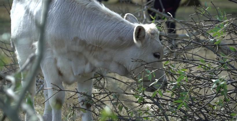 Pasto-ganado-extensivo