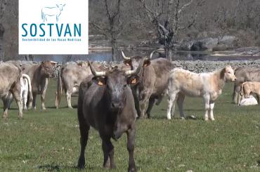 SOSTVAN, un proyecto innovador necesario para el sector de la carne de vacuno